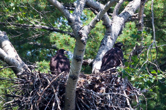 More Bald Eaglets