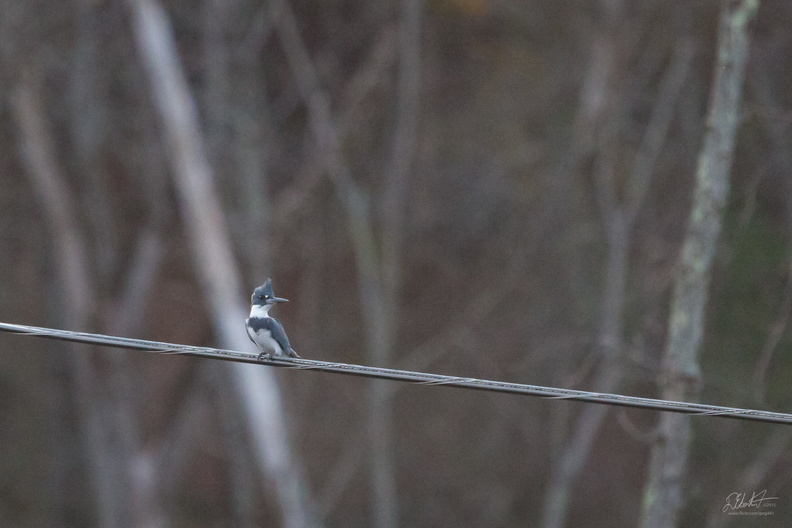 Kingfisher on a Wire