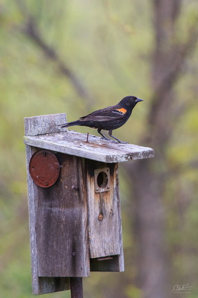 Blackbird on a Box