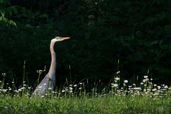 Blue Heron in the Daisies