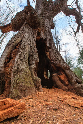 The Hobbit Tree